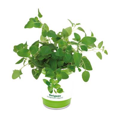 """Kräuterdose """" Easy planting"""" : gefüllt mit Pflanzgranulat und Samen für Oregano - Oregano - IN0901012"""